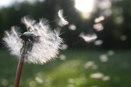 Image of a Dandelion blowing in breeze
